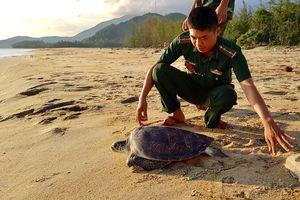 Thả cá thể rùa biển họ Cheloniidae mắc lưới ngư dân về môi trường tự nhiên