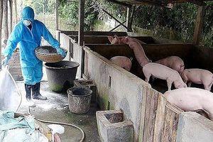 Thực hiện nghiêm các biện pháp phòng, chống bệnh dịch tả lợn châu Phi