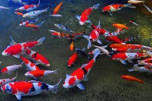 Sẽ thả cá chép Nhật Bản trên sông Tô Lịch và Hồ Tây