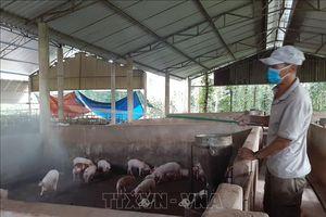 Cân nhắc việc tái đàn lợn nếu đảm bảo chăn nuôi an toàn sinh học