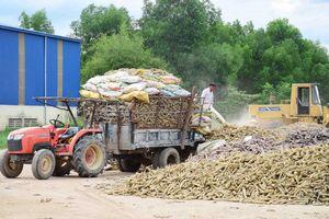 Thừa Thiên Huế: Lo sợ mưa lũ tái diễn, dân thu hoạch sắn 'bán tháo' cho nhà máy