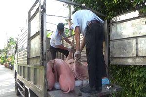 Dịch tả lợn Châu Phi ở Bạc Liêu gây thiệt hại hơn 80 tỷ đồng