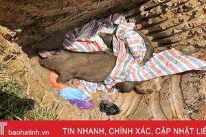 Thiên Lộc tiêu hủy 11 con lợn dương tính với dịch tả lợn châu Phi