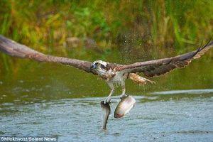 Kịch tính cảnh chim ưng biển săn đôi cá cùng lúc