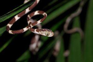 Lạ lùng loài rắn đầu tròn vo, mình dây như siêu mẫu