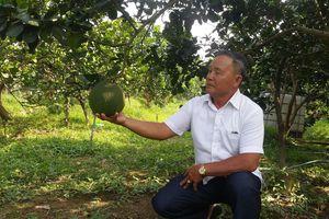Lão nông Bến Tre 'đổi đời' nhờ trồng bưởi da xanh