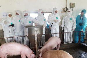 Nguồn cung thịt lợn trong 'bão' dịch bệnh: Không quá lo ngại