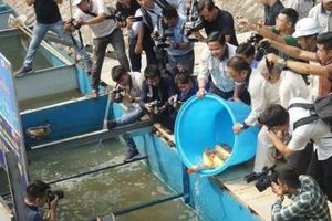 Sáng nay thả cá Koi Nhật Bản xuống sông Tô Lịch và Hồ Tây