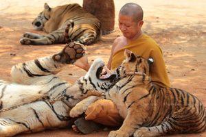 Chùa Thái Lan đổ lỗi cho chính phủ làm chết 86 con hổ được giải cứu