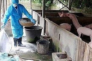 Hà Nội: Bệnh dịch tả lợn châu Phi tiếp tục phát sinh tại 522 hộ chăn nuôi