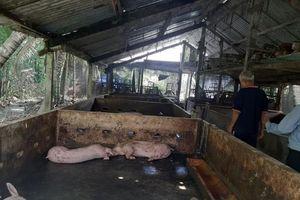 Tiền Giang: Thiệt hại gần 30% tổng đàn lợn do dịch tả châu Phi