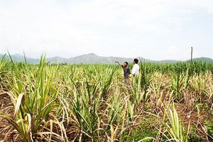 Ninh Hòa: Mía thiệt hại nặng do nắng hạn kéo dài
