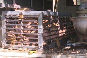Giải cứu con hổ 240 kg trên đường bị đưa đi nấu cao