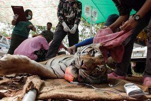 Đàn hổ được giải cứu khỏi chùa Thái Lan đang chết dần