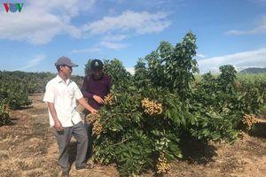 Thu tiền tỷ mỗi năm nhờ trồng nhãn lồng trên đất pha cát ở Đắk Lắk