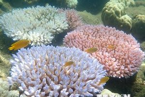 Australia phê chuẩn luật mới trong nỗ lực cứu rạn san hô Great Barrier