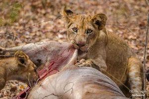 Chiêm ngưỡng sự khát máu của những con sư tử