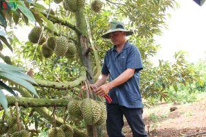 Diện tích trồng cây ăn quả ở Đắk Lắk đang tăng 'chóng mặt'