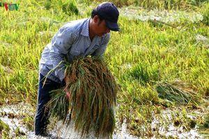 Đột phá công nghệ nhằm tăng hiệu quả sản xuất, tiêu thụ lúa gạo