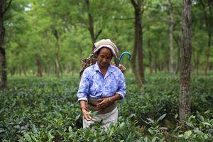 Ấn Độ: Vùng chè Dooars bị đóng cửa, nông dân điêu đứng