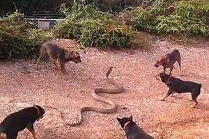 Đàn chó nhà đại chiến rắn hổ mang khổng lồ
