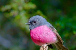 'Giải mã' loài chim cực thời trang, ngỡ không tồn tại