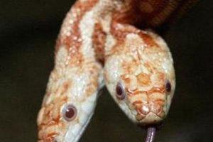 Rắn 2 đầu chuyện nhỏ, còn loài rắn biến dị 'quái' hơn