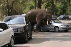 Voi đực thất tình tấn công hàng loạt ô tô
