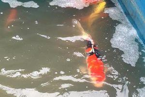 Nhìn nhận thế nào về việc cá Koi chết sau khi thả ở sông Tô Lịch?