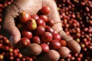 Giá cà phê hôm nay 21/9: Tăng nhẹ trở lại 100 đồng/kg