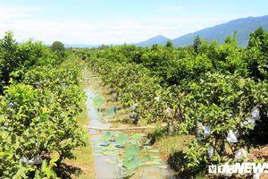 Vườn trái cây Nam bộ bạc tỷ giữa đất phèn xứ Quảng
