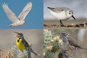 3 tỷ con chim đã biến mất khỏi Bắc Mỹ từ năm 1970 đến nay