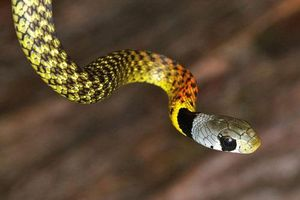 Vẻ đẹp mê mẩn của loài rắn 'tử thần' cực độc có bảy màu Việt Nam