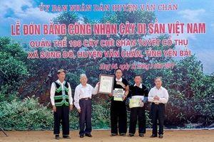 Công nhận Cây di sản đối với quần thể chè shan tuyết cổ thụ Giàng Pằng