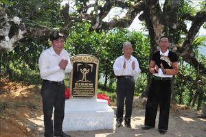Chè Shan tuyết Giàng Pằng được công nhận quần thể Cây di sản Việt Nam