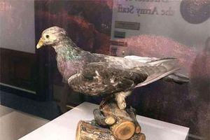 Chú chim bồ câu được phong anh hùng vì giải cứu hơn 500 binh sĩ Mỹ