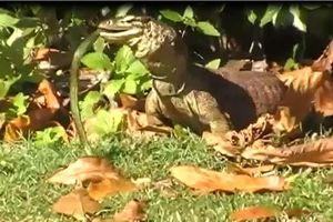 Kỳ đà Monitor nuốt sống rắn