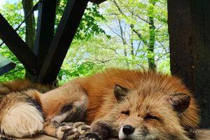 Chiêu ngược đãi dưới mác bảo tồn của làng cáo Nhật Bản