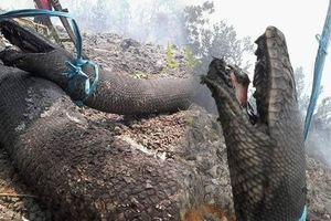 Phát sốc với hình ảnh 'mãng xà' lớn như thân cây bị chết vì cháy rừng