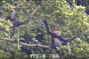 Bảo tồn loài chà vá chân xám đặc hữu ở Núi Thành, Quảng Nam