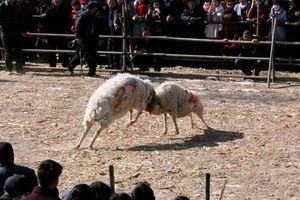 Kinh hoàng cảnh chọi cừu đầy máu me ở Trung Quốc