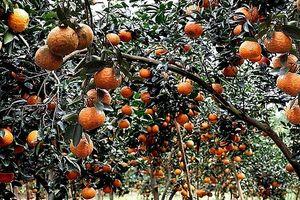 Dê núi Lâm Bình, cam Hàm Yên, mật ong Tuyên Quang thành sản phẩm OCOP