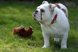 Top 10 giống chó 'sang chảnh' nhất thế giới
