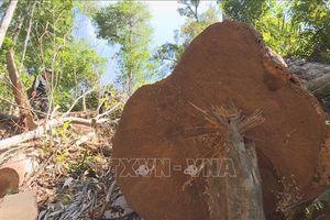 Phát hiện vụ phá rừng ở Kon Tum