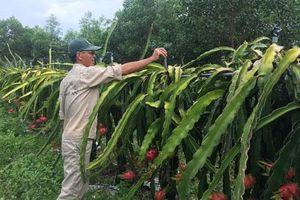 Lão nông Nghệ An lãi hàng trăm triệu mỗi năm nhờ trồng thanh long ruột đỏ