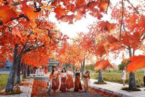 Rực rỡ hàng cây phong lá đỏ như trong phim Hàn tại Hà Nội