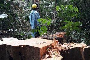 Rừng Trà Nú bị tàn phá nghiêm trọng
