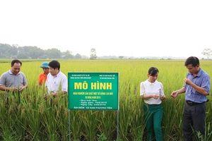 Khảo nghiệm nhiều giống lúa mới: Năng suất cao, kháng bệnh tốt