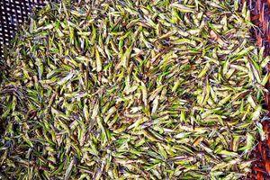 Người Việt giăng lưới bắt 'tôm bay', cả triệu đồng/ngày
