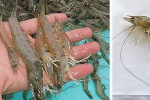 Bệnh EHP đe dọa ngành tôm